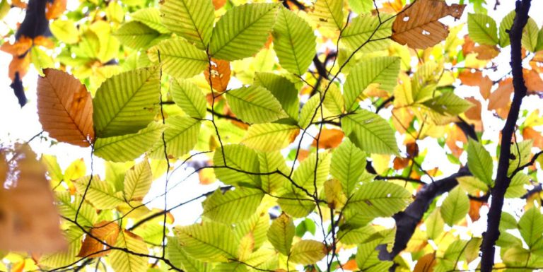 Leaves on a tree changing from green to gold to brown.