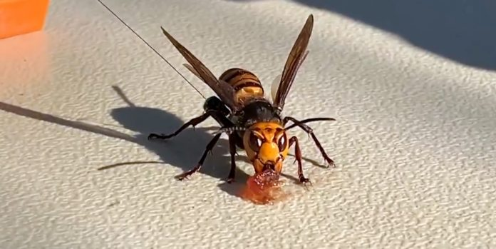 Murder hornet eating jam put out by scientists.