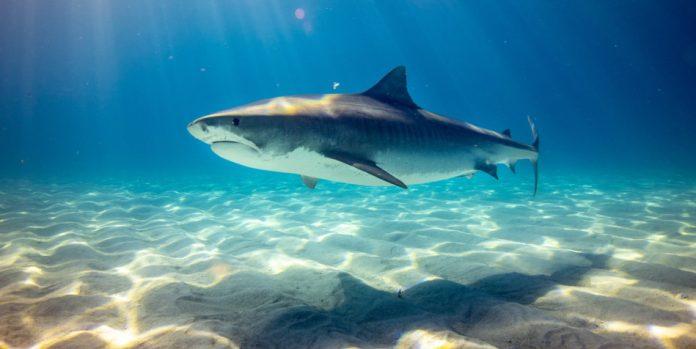 A black shark underwater.