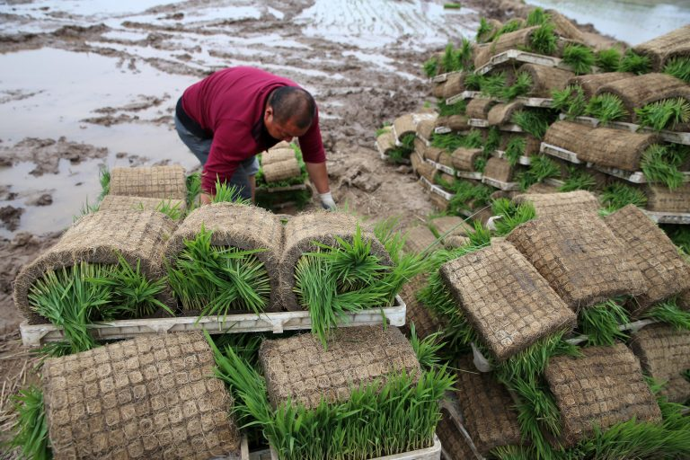 This picture taken on June 5, 2017 shows a Chinese farmer preparing to plant rice in a paddy in Nantong in China's eastern Jiangsu Province. CCP virus