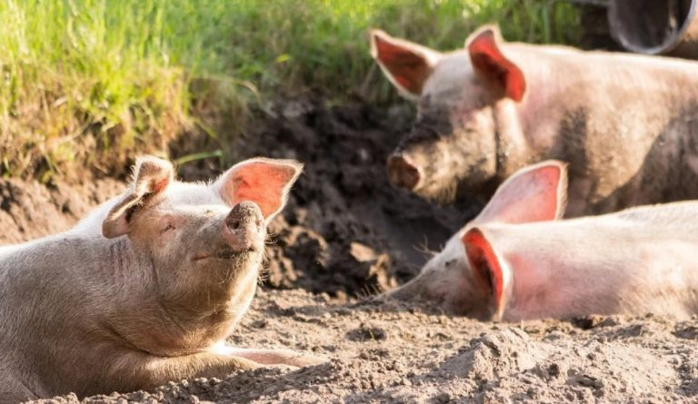 A new wave of African Swine Fever (ASF) is spreading through pig farms in communist China. Industry experts say it's not the result of natural causes.