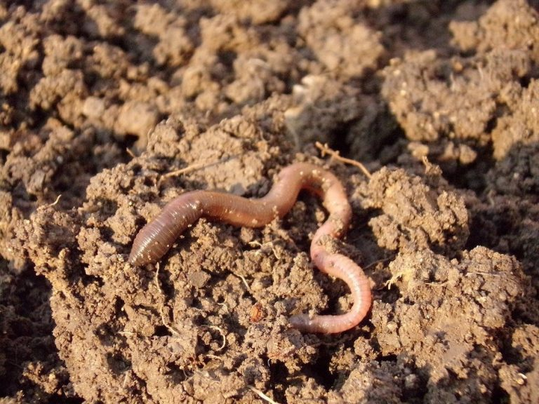 worm in some soil