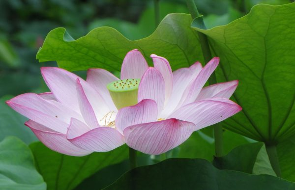 Nelumbo nucifera. The symbolically significant lotus flower is not only beautiful and useful, it is also easy to grow!