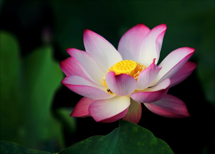 Lotus flowers are spiritually meaningful, ancient, remarkably beautiful, and it's surprisingly easy to grow your own.