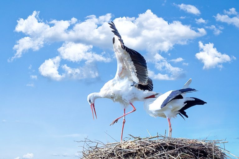 White storks make an annual trip from Europe to Africa and back again to Europe, where they make their durable nest high above ground. This bird served to unravel the mystery of migration.