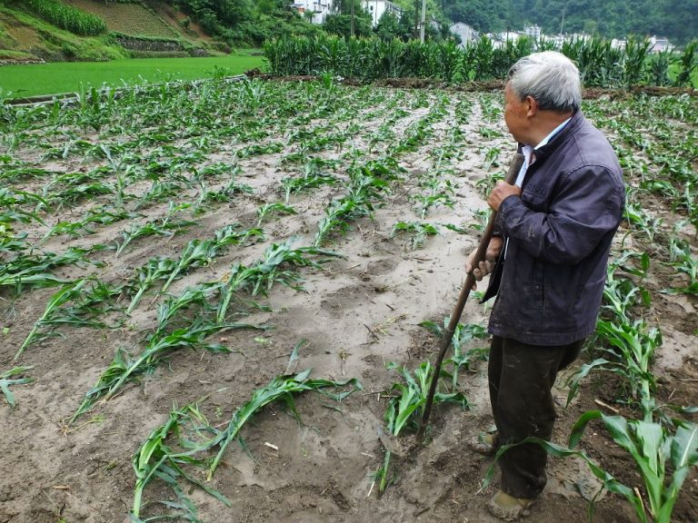 Corn planted by farmers is washed away by floods after torrential rains hit Yichang city, Hubei province, China, on June 18, 2021. Beijing appears to have shuttered Cofeed for reporting honestly on the country's grain and corn harvests as the Communist Party fears losing social stability and control over the people.