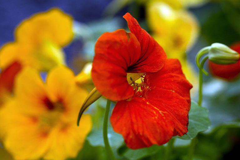 Nasturtiums are not only vibrant in color, but also in scent. Their potent peppery fragrance is a phytochemical weapon against pests. Both the leaves and flowers put a little pizzazz into summer salads.