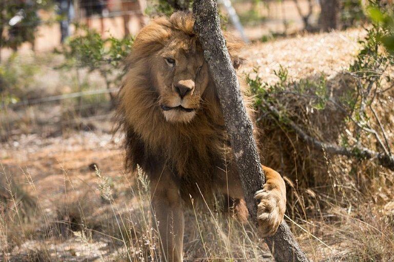 One of the 33 lions enjoys his new enclosure at the Emoya 'Big Cat Sanctuary' on May 1, 2016 in Vaalwater, South Africa.The animals have been released into small open areas with natural vegetation, something that many of the animals have never experienced before.