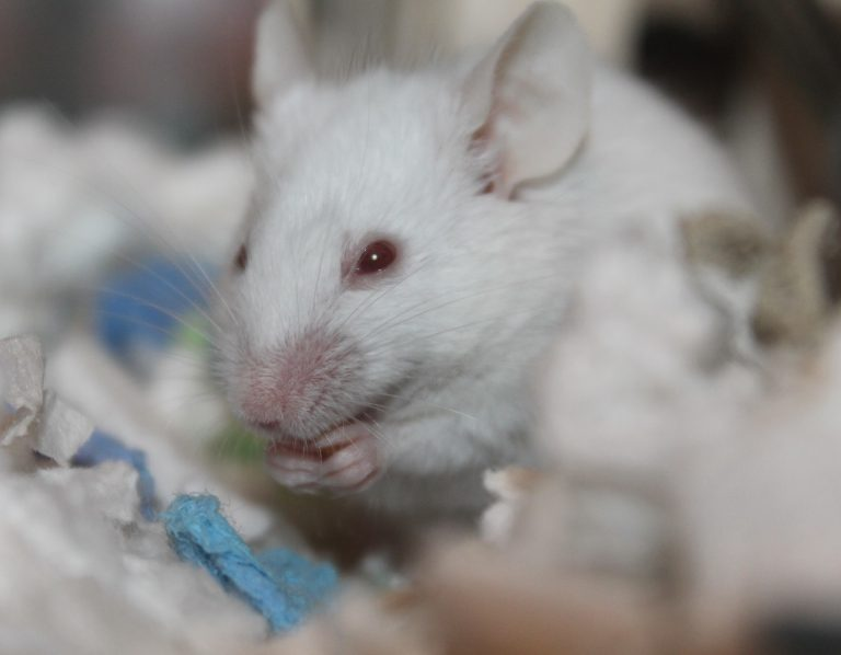 Chinese scientists developed mice with human-like lungs to test viruses.