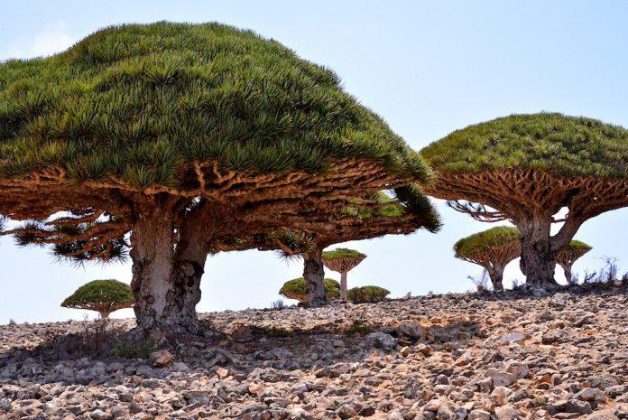 L'albero del sangue di drago, un sempreverde fiorito originario dell'isola di Socotra, è apprezzato per la resina di colore rosso intenso prodotta dalla sua linfa.  (Immagine: Rod Waddington tramite Flickr CC BY-SA 2.0)