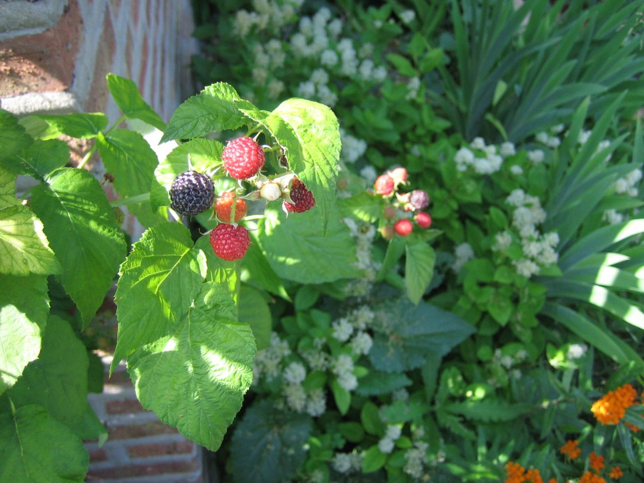 Arguably the most delicious fruit on the planet, black raspberries are not to be found at your local grocery. You can cultivate them yourself, or find them growing wild.