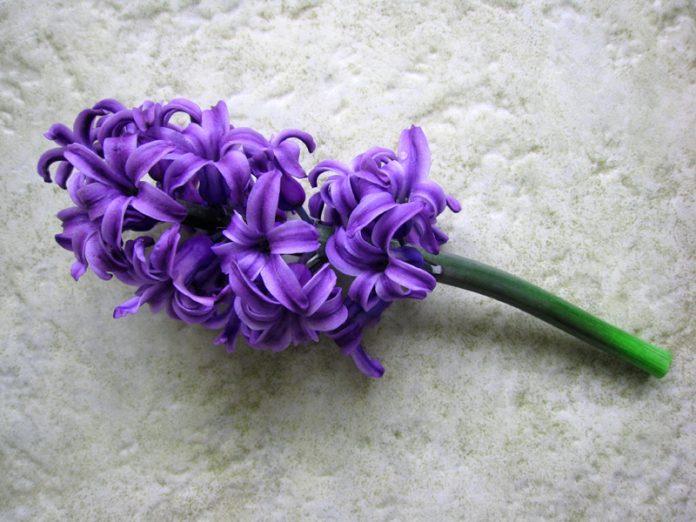 Il giacinto viola è un emblema del perdono. Secondo il Dharma buddista, coloro che perdonano gli altri saranno benedetti; mentre diffondere le colpe degli altri diminuirà la propria virtù e porterà cattivo karma. (Immagine: cbransto tramite Flickr CC BY 2.0)