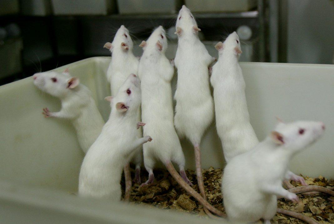 Ratti bianchi femmine stanno in una vasca in un laboratorio per animali di una scuola di medicina il 16 febbraio 2008 nella municipalità di Chongqing, in Cina. Oltre 100.000 ratti e topi vengono utilizzati negli esperimenti ogni anno per la ricerca farmaceutica in laboratorio, dove la temperatura viene mantenuta a 24 gradi centigradi. (Immagine: foto della Cina/immagini Getty