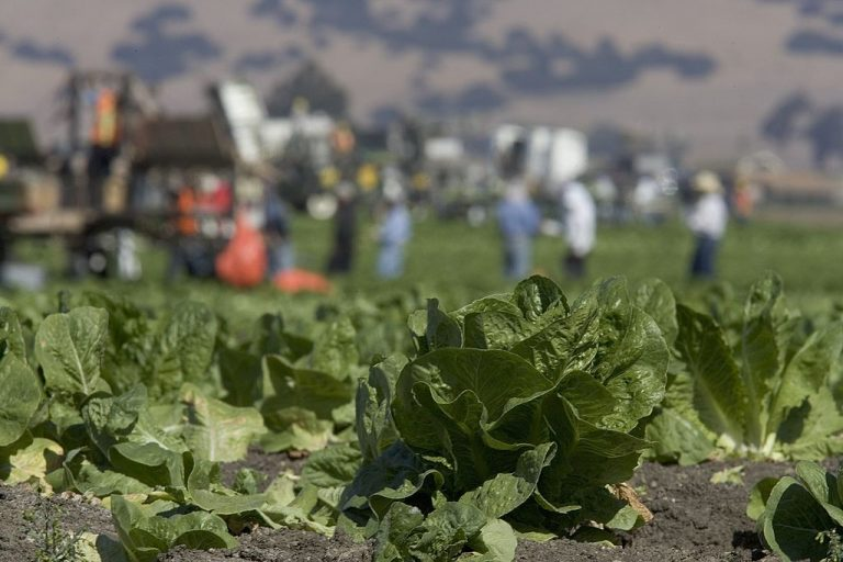 Workers are seen in a lettuce field October 9, 2006 in Gonzales, California. Researchers at the University of California Riverside have been given a $500,000 grant by the National Science Foundation to genetically engineer spinach and lettuce to carry mRNA-based COVID-19 vaccines.
