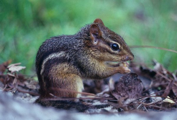Eastern Chipmunk: The Eastern chipmunk is a small rodent in the Family Sciuridae that can reach a body length of 12 inches (29.9 centimeters). Eastern chipmunks have white and black stripes running down the backside of their body. (Florida Natural Areas Inventory 2001).