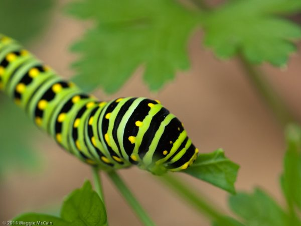 A swallowtail caterpillar on parsley plant from Sheilds Tavern Kitchen Garden in Colonial Williamsburg, Virginia. Although these stunning creatures will chomp away at your parsley, the damage is insignificant, and they are fascinating to watch.