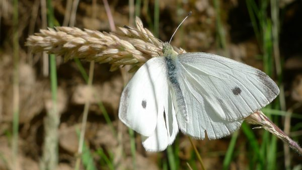 """A male cabbage white butterfly from Dargo, Australia. The destructive """"cabbage worm"""" is the caterpillar stage of this butterfly. Chickens and songbirds are helpful in controlling these pests, while some people resort to swatting at them with a tennis racket."""